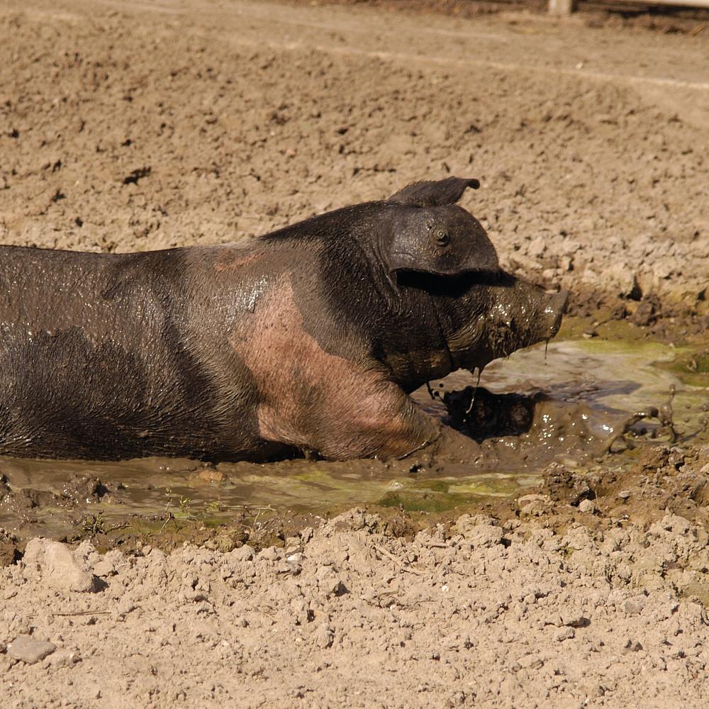 Livar Schwein