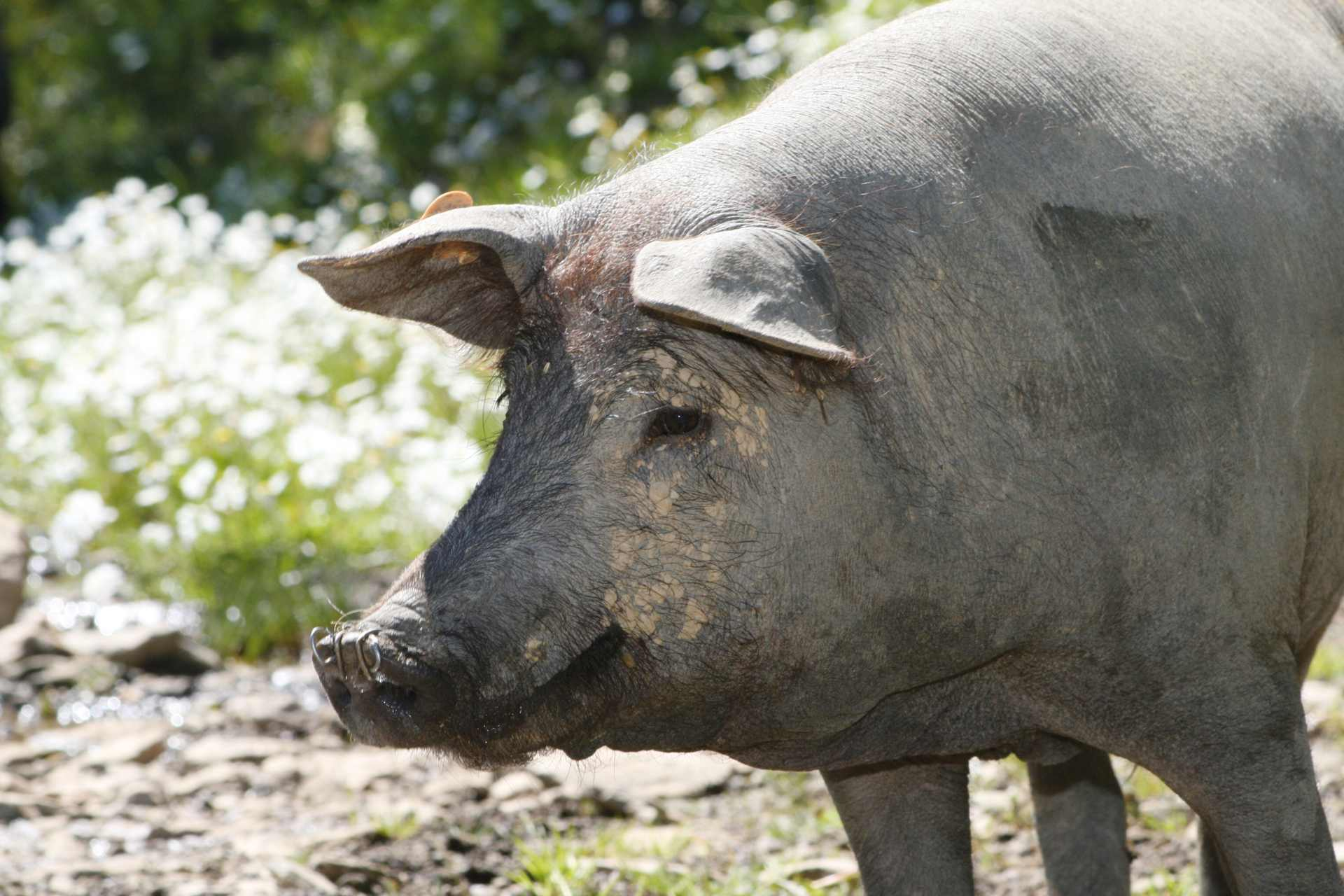 Schwein Iberico